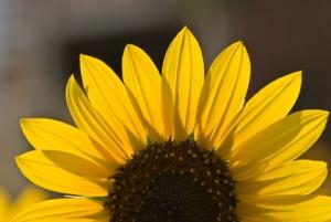 SunFlowersLg005